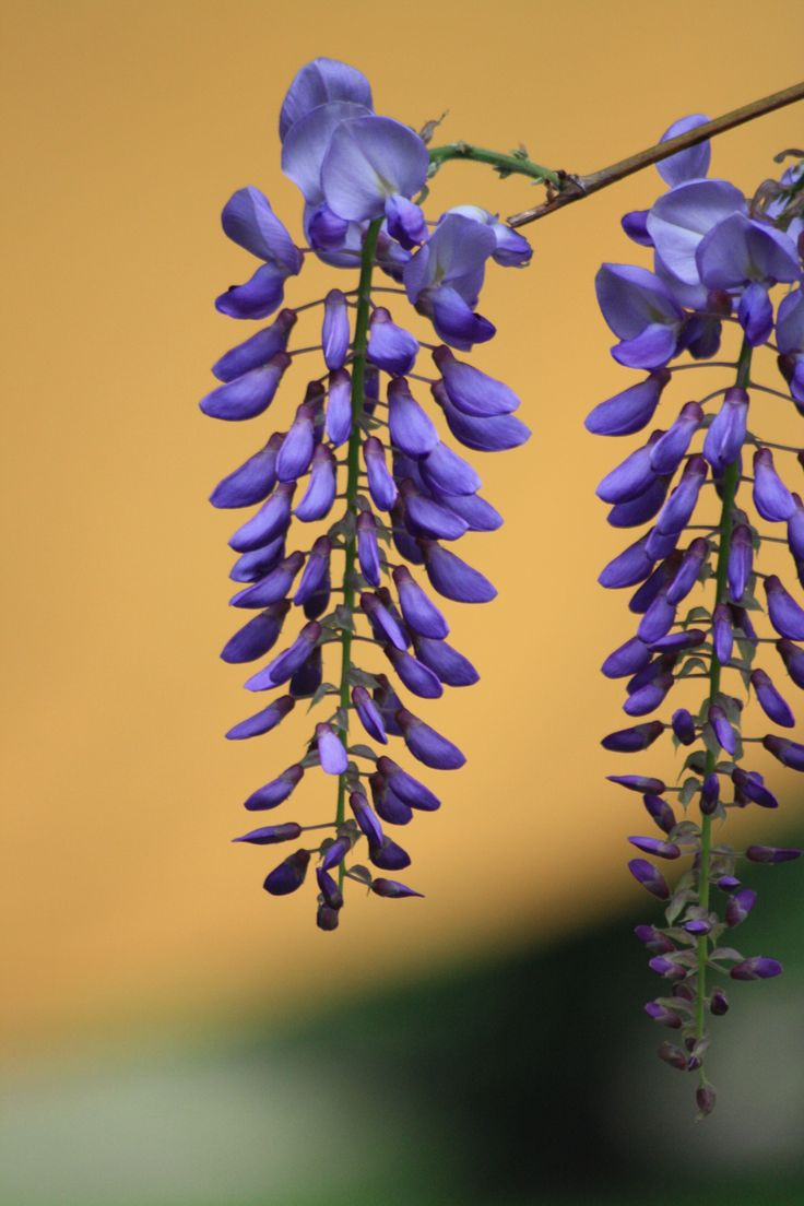 Flower/ MS