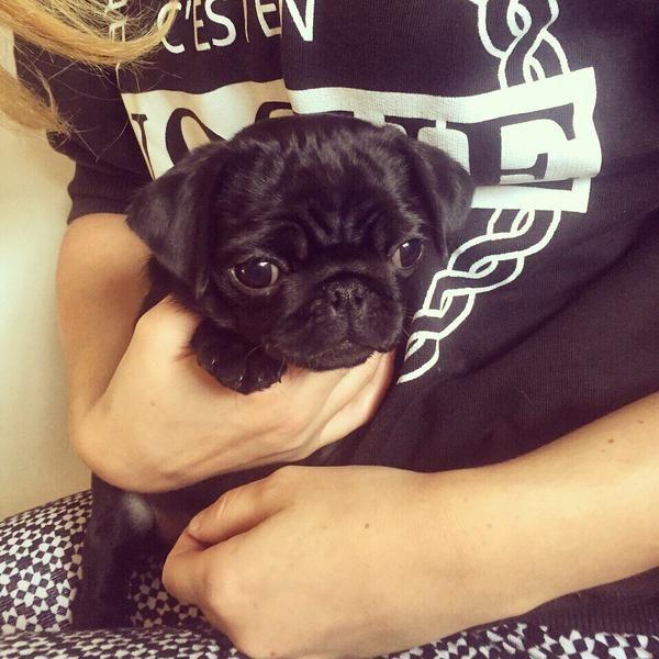 Zoe's (Zoella) and Alfie's (Pointlessblog) pug Nala, so cute