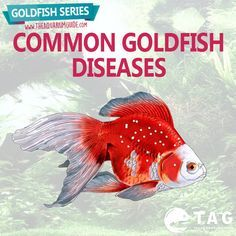 A well cared for goldfish will rarely become ill, as MOST goldfish varieties are very hardy fish. Goldfish Series - Common Goldfish Diseases.