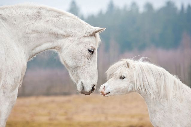 12 astonishing facts about horses....Did you know, miniature horses are ponies, but ponies aren't miniature horses...