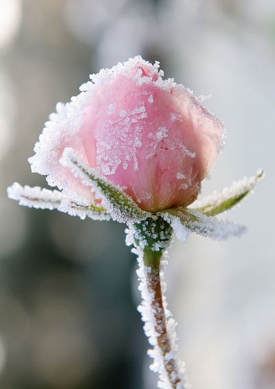 pink rose in winter
