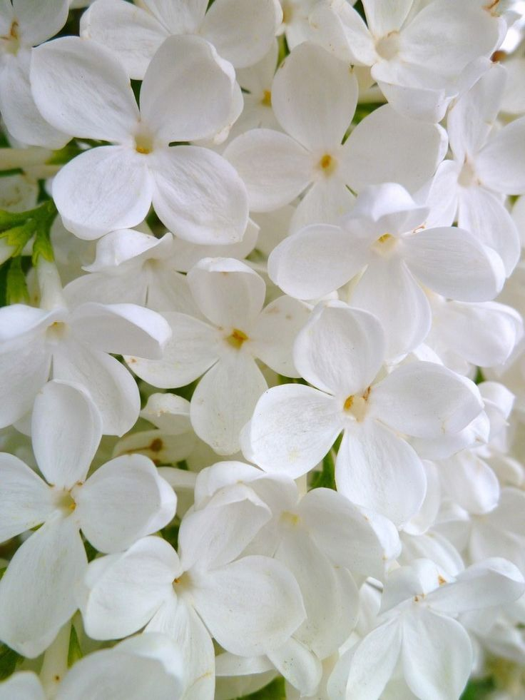 best ✿ flowers white images on, Natural flower