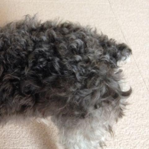 レーヴちゃん、他のシュナちゃんに比べてしっぽ短すぎやないかな🤔💦 今はお肉と毛で分かりにくくて、初めて会った人には「しっぽないね」なんて言われたことも…  3枚目は、生後4ヶ月ごろ。  やっぱり短いな😅  #シュナウザー #愛犬 #メス犬 #schnauzer  #miniatureschnauzer  #petdog