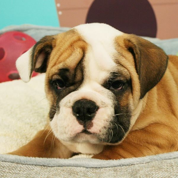 This Baby English Bulldog Is Ready For Their Forever Family How