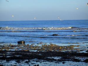 Saint-Aubin-sur-Mer - Côte de Nacre : plage, mer (la Manche) et oiseaux marins en plein vol