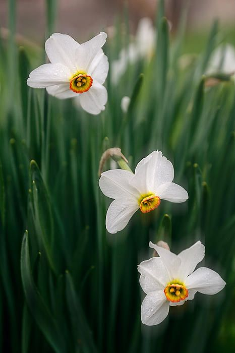 Narcissus Poeticus In Bloom by Cristina-Velina Ion