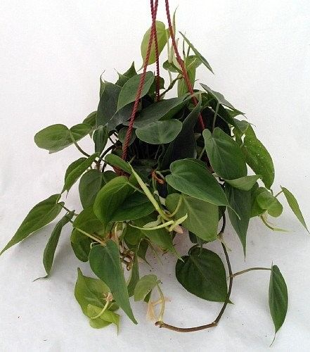 Heart-leaf philodendron (philodendron scandens oxycardium)