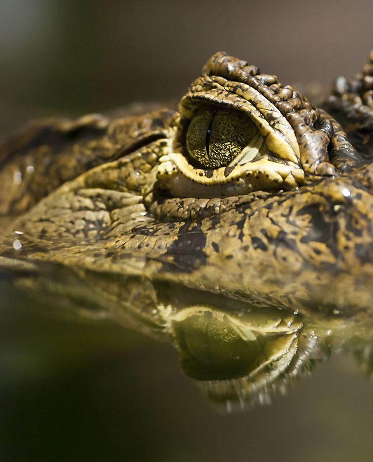 Caiman Crocodilus © 2011 Yngve Thoresen