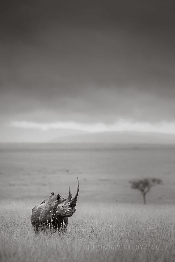 A Black Rhino. (Photo By: David Lloyd Wildlife Photography on Facebook.)