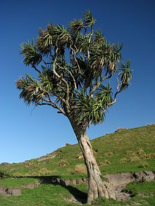 Tall tree on a green hillside. The tree has a bare trunk and a round head with spiky leaves