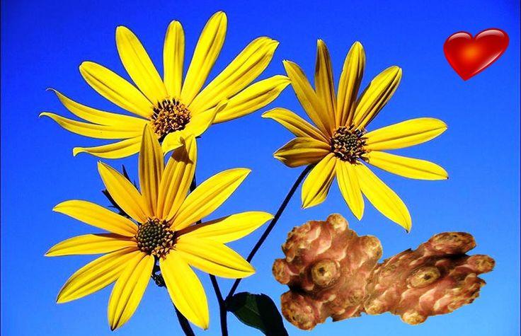 Топинамбур   лечебные свойства и рецепт оладьев из топинамбура