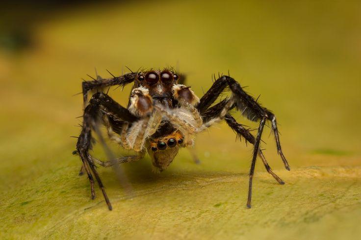 Salticidae - Portia labiata (male) with jumper prey