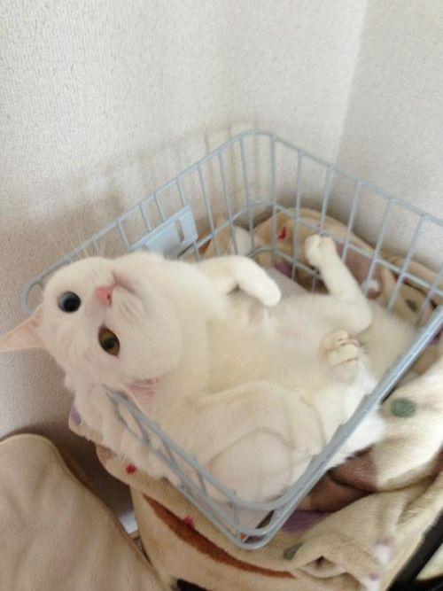 cat-pic: 良かったらうちの子も使って下さい(((o(*゚▽゚*)o)))まだ取り付けてない自転車のカゴの中で遊ぶアホな子です♡笑 http://nekopple.com