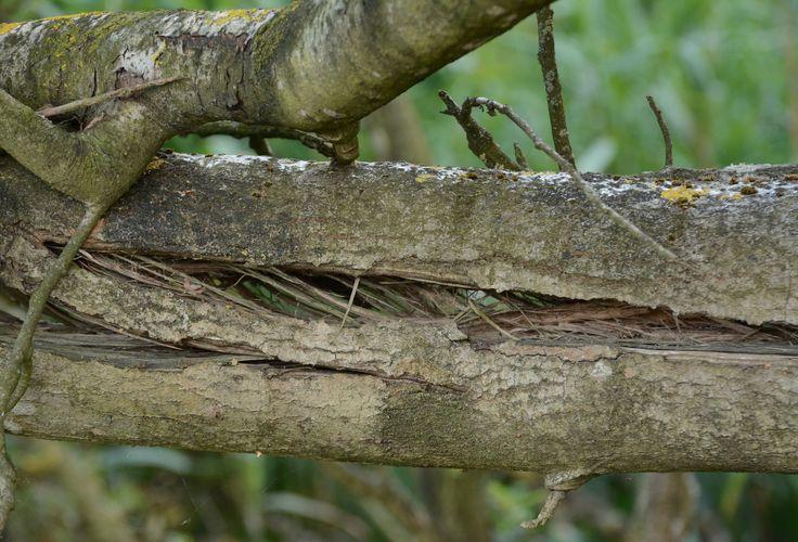 Amsterdamse waterleidingduinen 2015-08-05 Arno Ooms. Nu maar wachten op de beestjes en de paddestoelen. Daarna gaan de spechten op jacht. Na een paar jaar is de boom compleet vergaan.