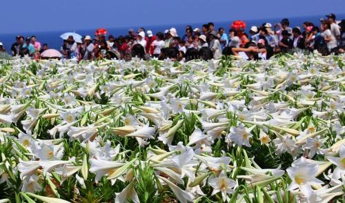 伊江島ゆり祭り | 沖縄タイムス Lily Festival in Ie Jima | okinawatimes.co.jp