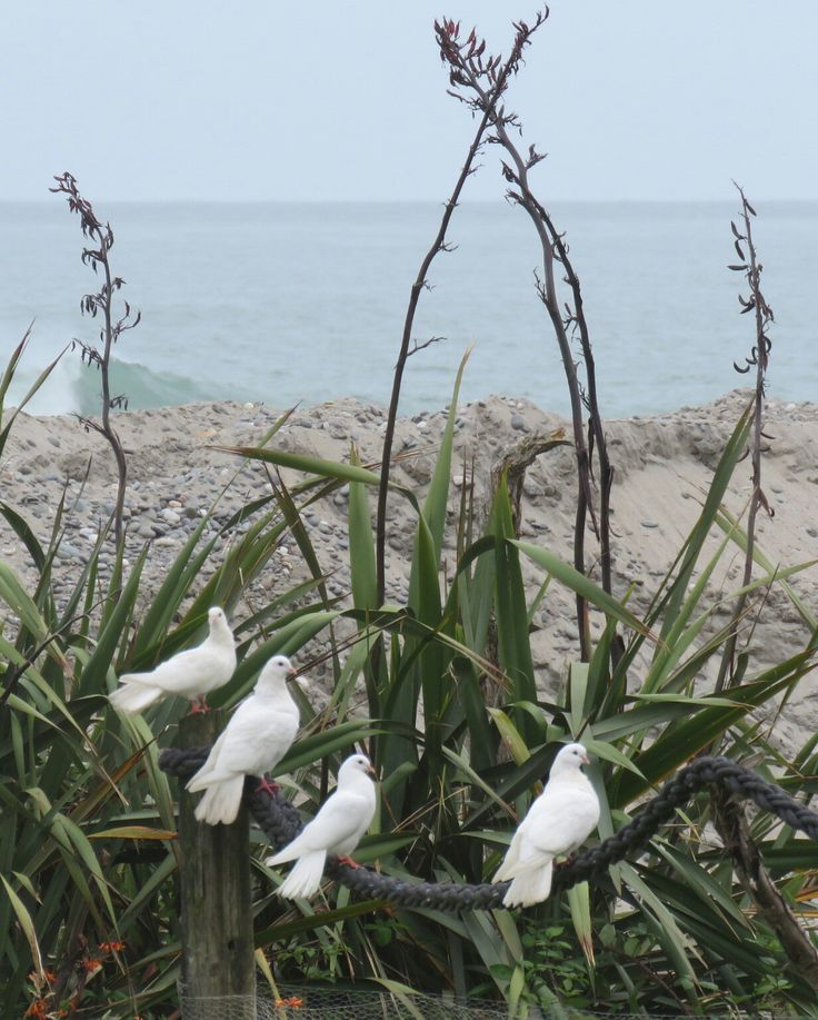 Fantail doves by the sea
