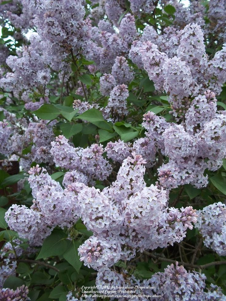 photo of common lilac syringa vulgaris uploaded by tropicalover nature pinterest photos. Black Bedroom Furniture Sets. Home Design Ideas