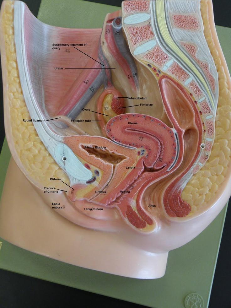 Mejores 63 imágenes de Anatomy en Pinterest | Cuerpo humano ...