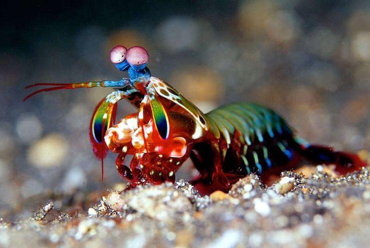camarao-mantis