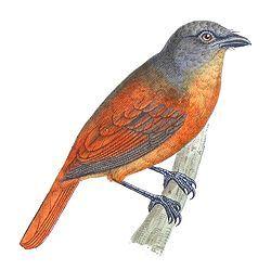 Schiffornis major Castelnau.jpgEl saltarín grande, chifornis rufo, silbador mayor o llorón de varzea2 (Schiffornis major) es una especie de ave de la familia Tityridae, que anteriormente fue incluida en la familia Pipridae pero que fue reclasificada por el SACC.3