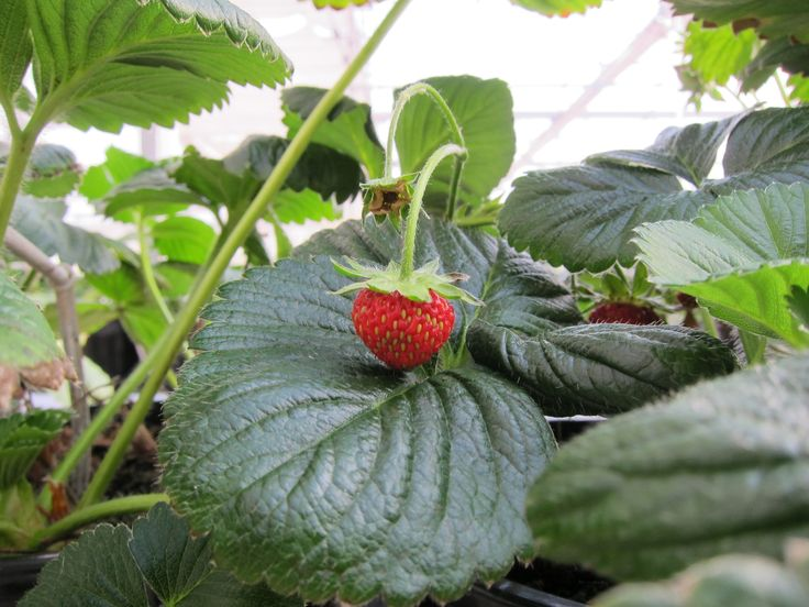 Yarra Valley with Children Strawberry picking at The Gateway Estate