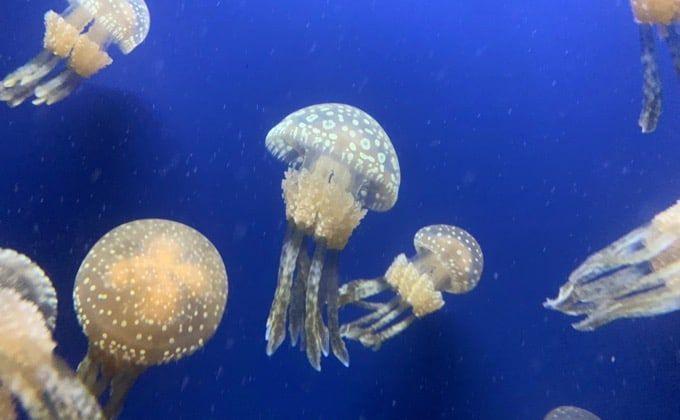 寿命 クラゲ の クラゲは家庭で飼育できる?必要な水槽や水、餌、ポンプ、注意点など