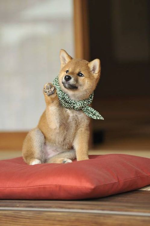 a dog called Japanese midget Shiba | via tumblr: State Puppys, Adorable Puppys, High Five, Cutest Dogs, Corgi Puppys, Baby Husky, Shiba Inus, Cute Puppys, Shibainu