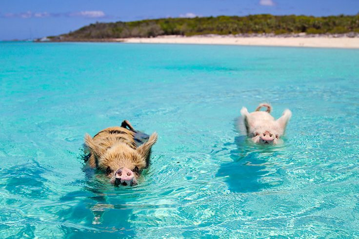 Image result for sailing a pig
