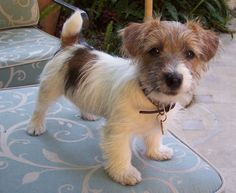 wire hair jack russell terrier named Crumpet...so cute it's killing me!