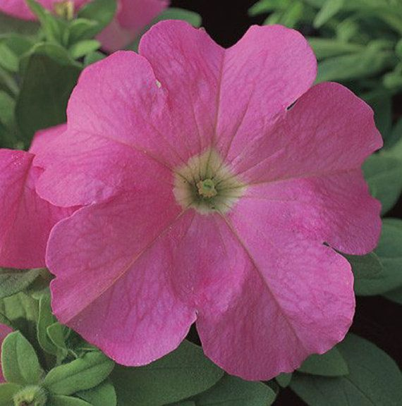 rose petunia seeds hanging baskets high quality fresh seed strong color