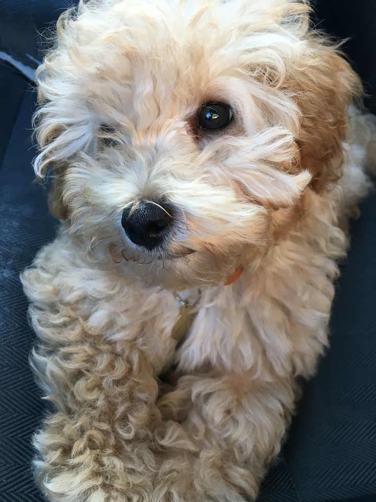 Jackapoo puppy poodle mix. My Jackapoo Merci Beaucoup