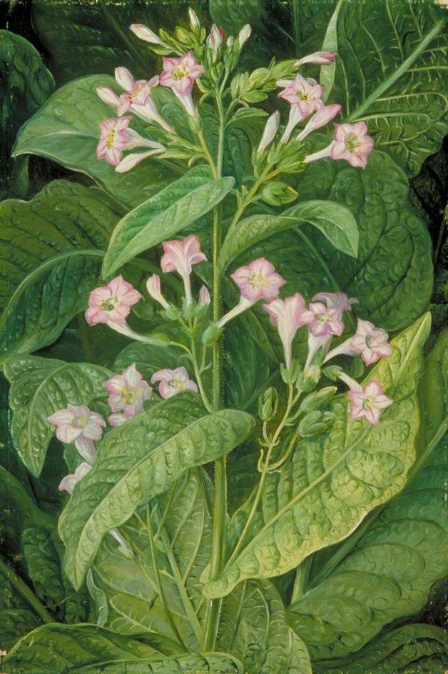 Nicotiana Tabacum Images: 11 Best Tobacco Plants Images On Pinterest