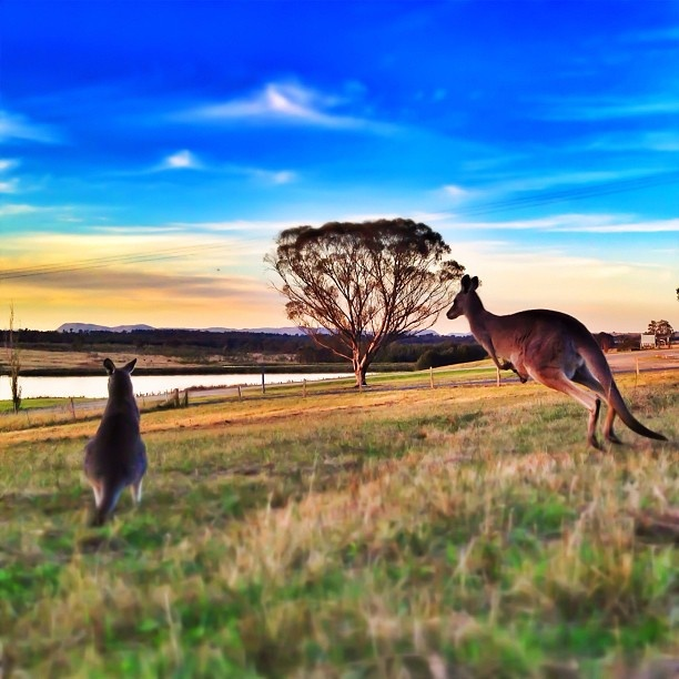 Two Kangeroo's enjoying the sunset.