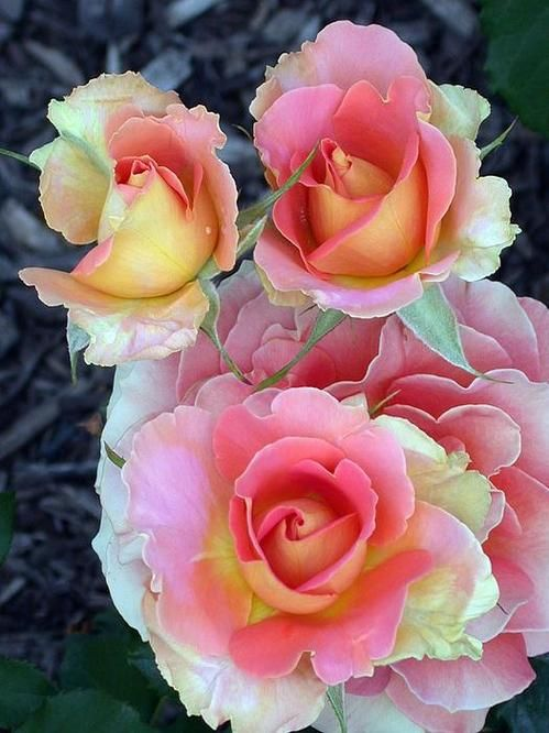 Brass Band Roses, this floribunda scents the air with a moderate damask fragrance.