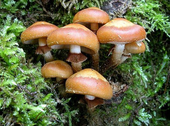 šupinovka menlivá Kuehneromyces mutabilis (Schaeff.) Singer & A.H. Sm.