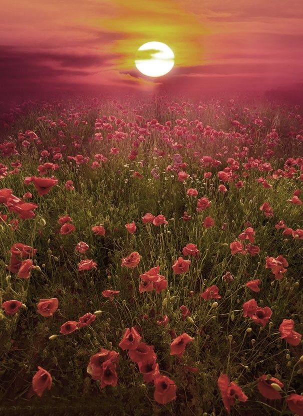 Field of Poppies - Tuscany...maybe this is more my field of dreams.  I have visited Italy but mainly the big cities...I need to go again