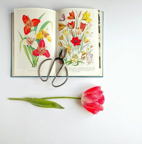 Red tulip flat lay