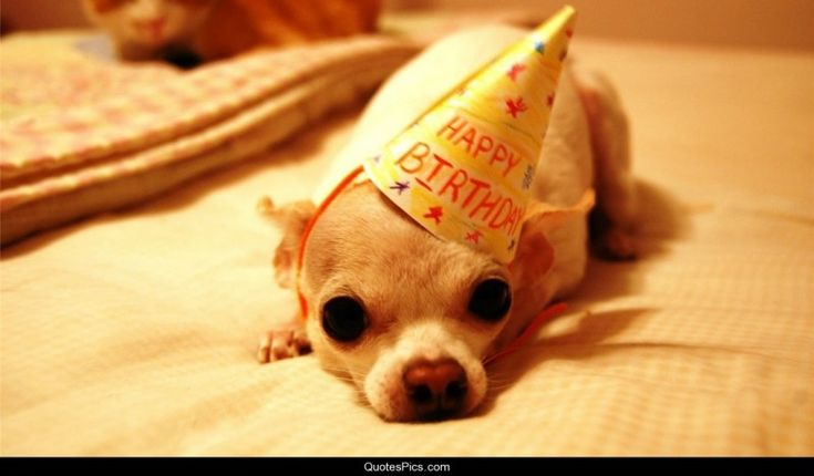 Chihuahua Birthday Party!!