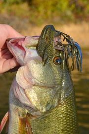Football head jigs dressed with soft plastic crawfish tails like this one are highly effective lures throughout the summer on the TVA chain.Frank Sargeant It seems like fishing a jig couldn't be simpler--throw it out, let it hit bottom, hop...