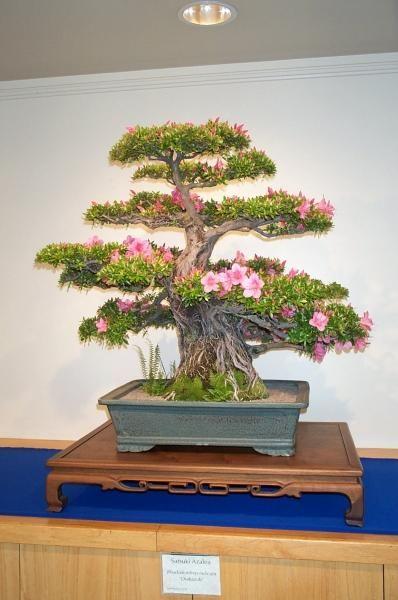 Outdoor: Rhododendron (azalia)