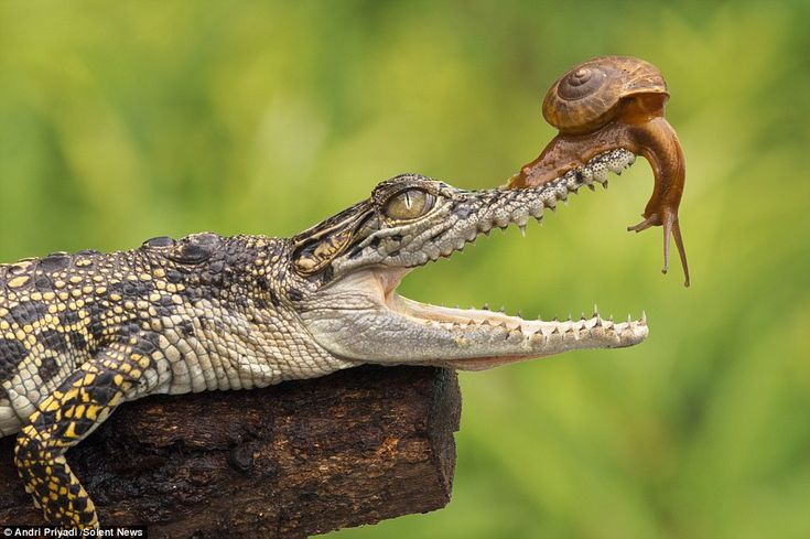 Graphic designer Andri Priyadi, 30, watched the snail crawl up the baby saltwater crocodile's nose as the predator rested on a branch in South Jakarta, Indonesia.
