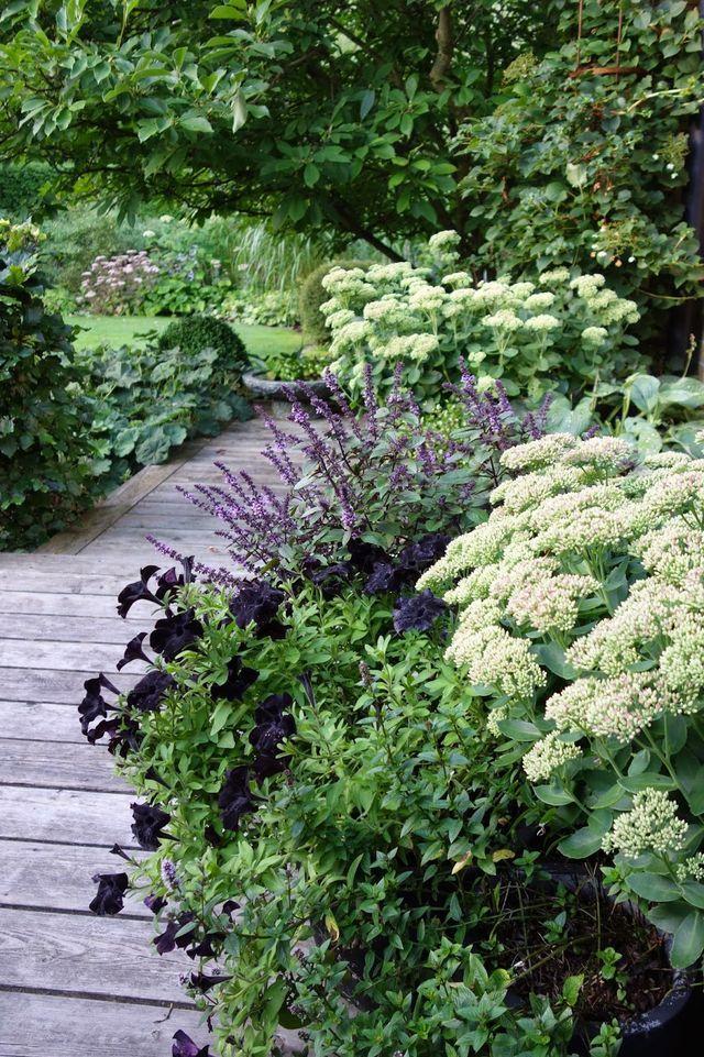 Love this glam combo of black petunias, Sedum spectabile 'Iceberg'and what looks like Plectranthus 'Mona Lavender'.