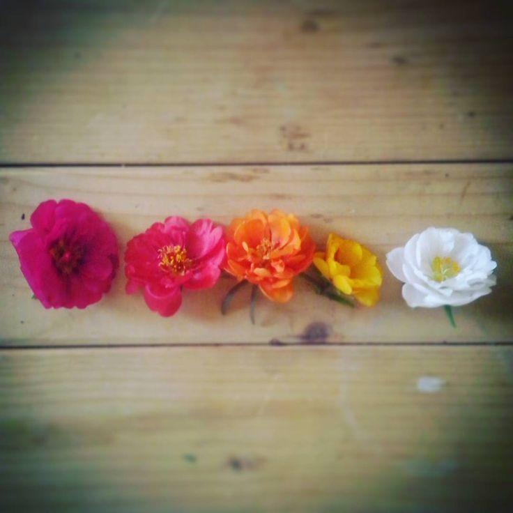 Portulaca mon amour #flowers #colours #nature #naturelove @neva_sereia