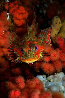 935 best images about nature 39 s aquarium on pinterest for Irish lord fish