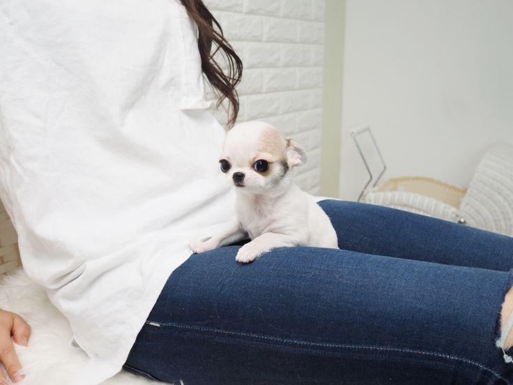 Full Grown Micro Teacup Chihuahua – HD Wallpapers