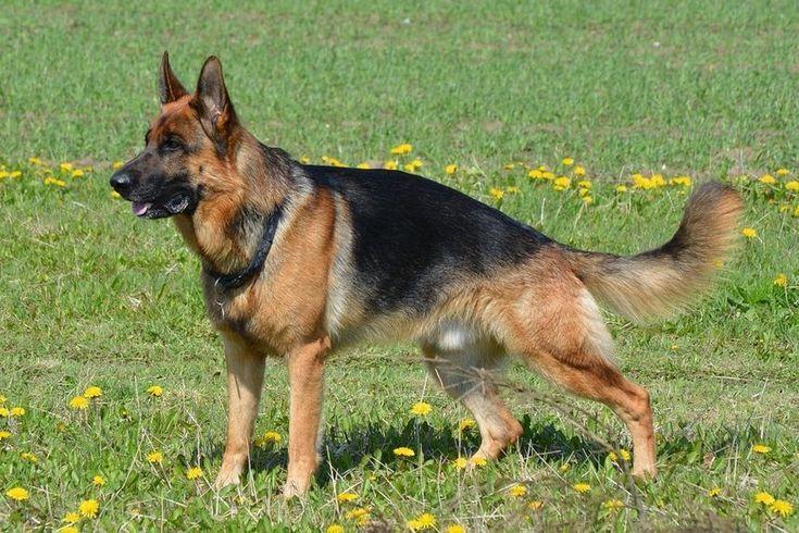 German Shepherd Dogs and Schutzhund German shepherd