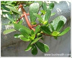 Purslane Herbal Tea Fight Heart Disease!