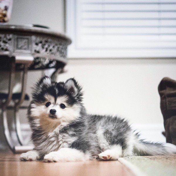 Pomeranian Mix Top 20 Most Cutest And Huggable Pompom Cross