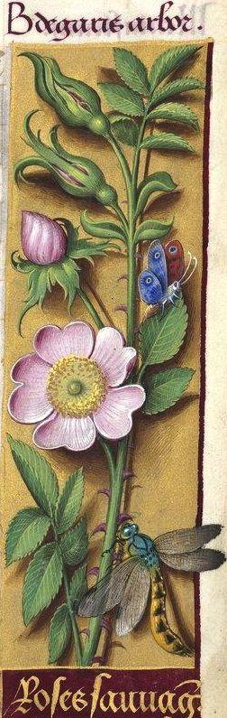 Roses sauvages - Bedgaris arbor (Rosa canina L. = fleurs d'églantier) -- Grandes Heures d'Anne de Bretagne, BNF, Ms Latin 9474, 1503-1508, f°113r
