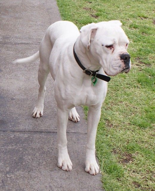 Busting Myths About White Boxers